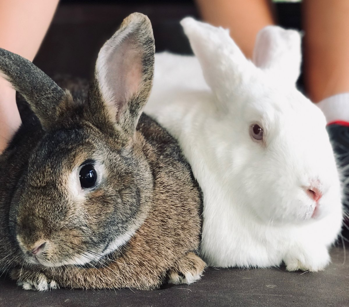 When you sneak back into the house at 3 am, but your parents be waiting at the door like...   Theodore, Fred   #rabbit #rabbits #rabbitlife #bunny #bunnies #bunnyrabbit #bunnylife #pet #pets #cute #houserabbit #houserabbits