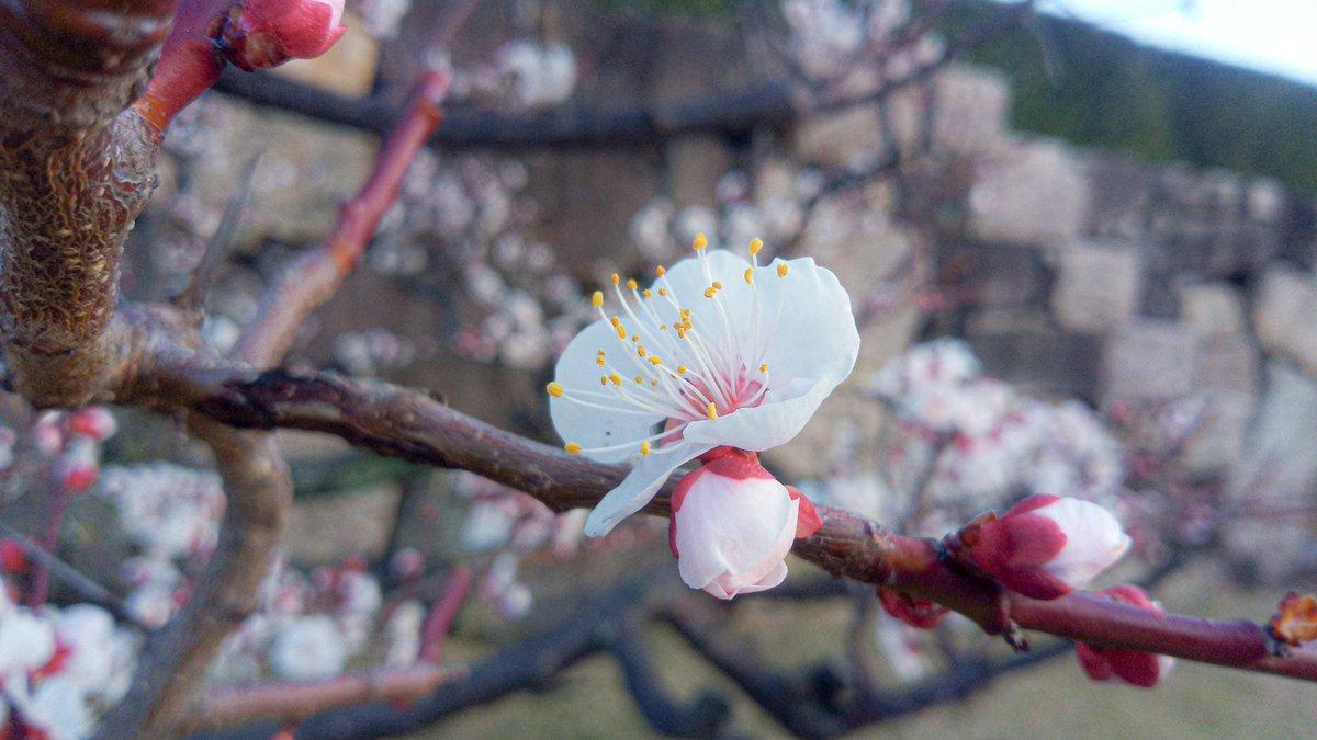 花開いた梅も、蕾の梅も、  まるみがかわいい  #写真撮ってる人と繋がりたい  #写真好きな人と繫がりたい  #写真で伝えたい私の世界 #写真 #photo #photographer #梅の花 #Flowers #広島 #広島城