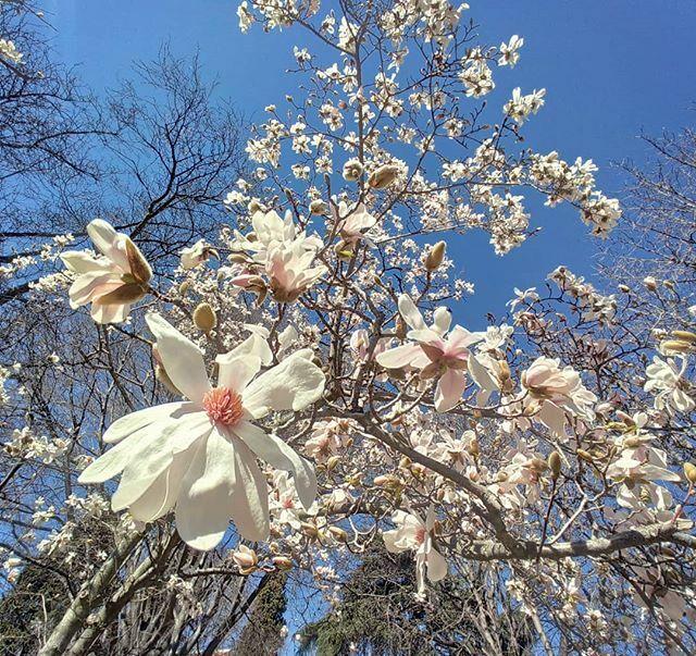 Explosión de #magnolia en flor #flowers