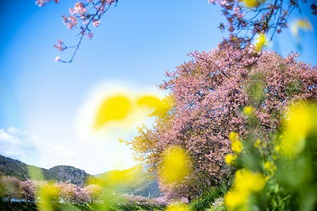 Early spring.  #静岡  #伊豆 #河津町 #shizuoka #izu #kawazu #travel #trip #scenery #landscape #beautifulday #beautiful #canon_photos #my_eos_photo #japantrip #traveljapan #japan #outatimephotography