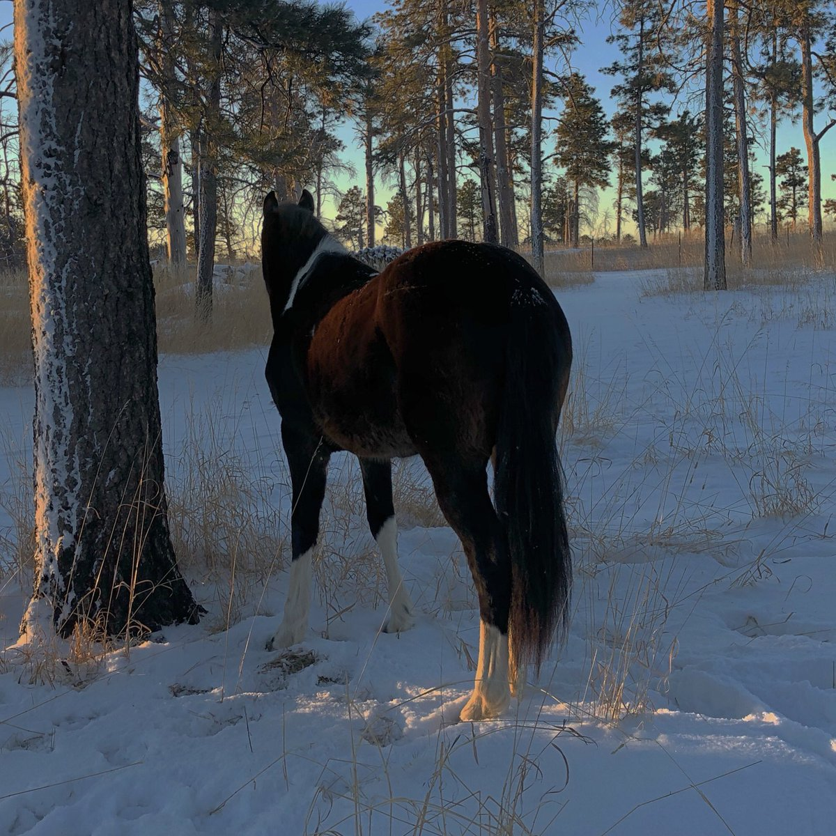 """""""When you arise in the morning, think of what a precious privilege it is to be alive - to breathe, to think, to enjoy, to love."""" -Marcus Aurelius   #hoofbeatstheatre #peacefulmorning #winterwonderland #equestrianlife #horses #friesiansporthorse #colorado #forest #wednesdaywisdompic.twitter.com/tRcLHKW1Zw"""