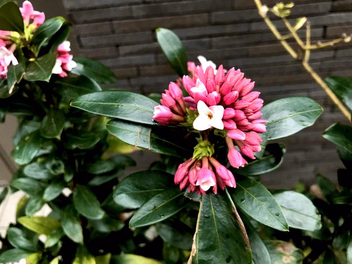 まだ花びらが開き始めの9割が蕾のものは、鮮やかな色味だった٩( ᐛ )و #沈丁花 #daphne #blooming #flower #leaves #green #nature #flowerbud #street #flowers #happy #February #東京eastside #tokyoeastside