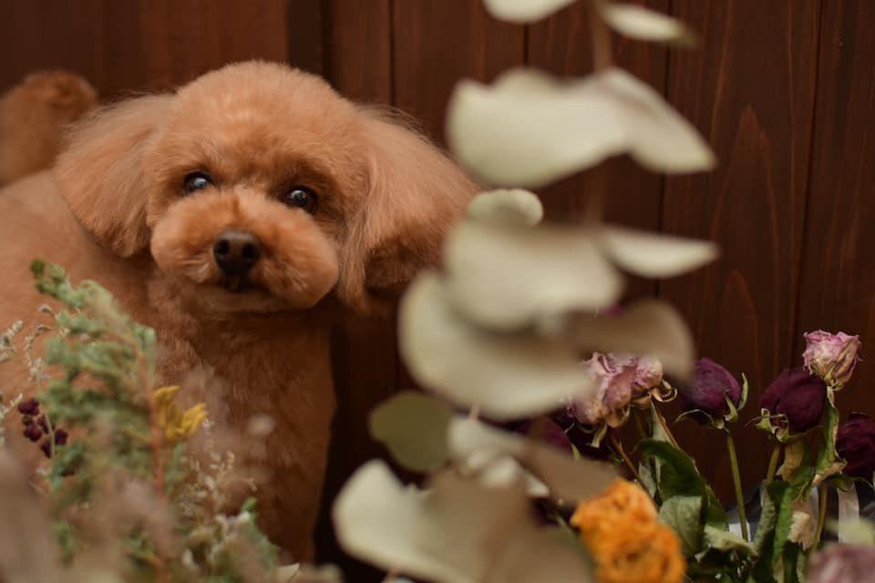 ≡No Dog,No Life≡ 〜toypoodle*トイプードル〜  photo by Ai Obuchi  #犬 #犬写真 #dogphoto #犬グラフィー #nodognolife #chai #dogsalonchai #ドッグサロンチャイ #寄居町 #深谷市 #熊谷市 #長瀞 #秩父 #児玉町 #美里町 #小川町 #東松山 #犬のいる暮らし #犬のいる生活 #toypoodle #トイプードルpic.twitter.com/2SysRyq7h0
