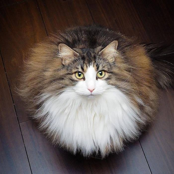 Behold the power of the mighty floof!  #CatsOfTwitter #cats #majestic pic.twitter.com/nbD31smcw3