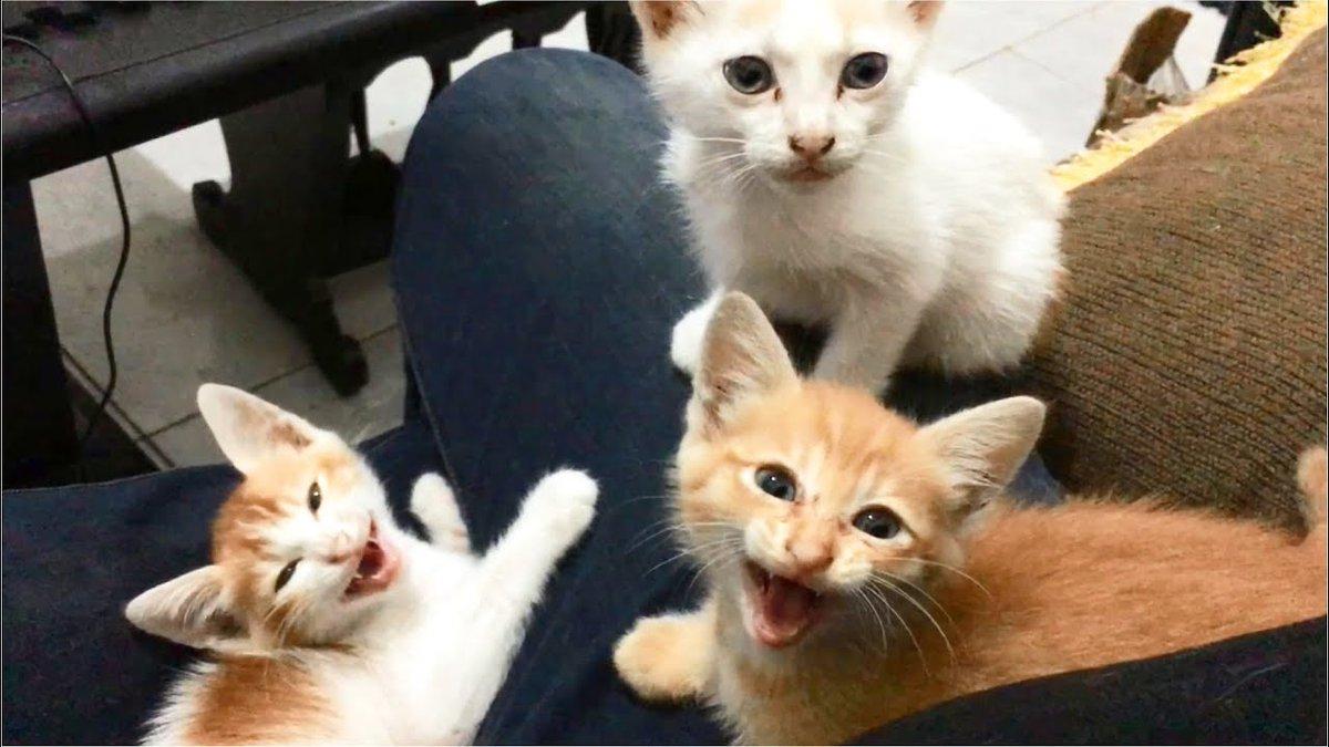 Many #Kittens #Meowing So #Cute On ...   #Cats #Cat #Kittens #Kitten #Kitty #Pets #Pet #Meow #Moe #CuteCats #CuteCat #CuteKittens #CuteKitten #MeowMoe   #AnakKucing #Cat #CatMeow #CatMeowing #CatRescue #Cats #CatsMeowing #CuteCat      .