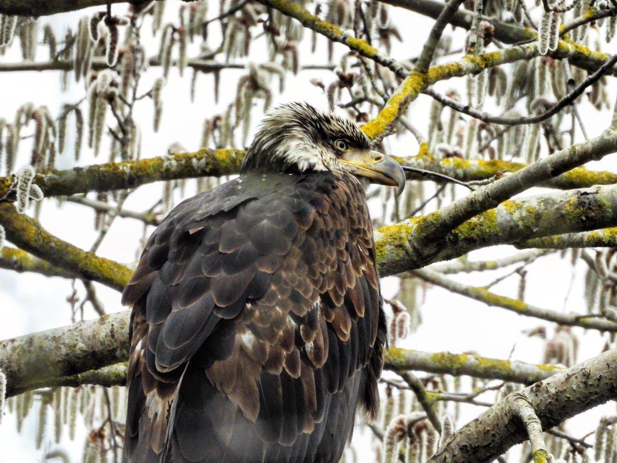 Spring catkins and a beautiful young #baldeagle yesterday in Delta #WildlifeWednesday #nature #wildlife #birds #raptors #dailybaldeagle #vancouverbirds #spring #catkins #wildvancouver #exploredelta #experiencedelta #natgeoyourshot #sharecangeo #nikon #canadianwildlife #canada https://t.co/nVNMtg8qcL