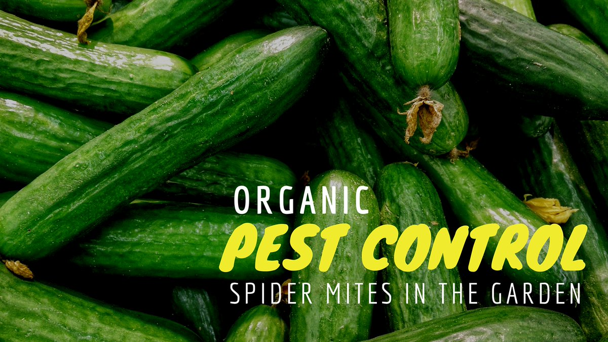 RT @EcoSnippets #Organic Spider Mite Control Using Insects... - http://ecosnippets.com/gardening/organic-spider-mite-control-using-insects/… pic.twitter.com/qdAzd0fCgB #pestcontrol #gardening #permaculture #nature #biodiversity #insects #insecticide #pesticide #gardening #agriculture #farming #pestcontrol