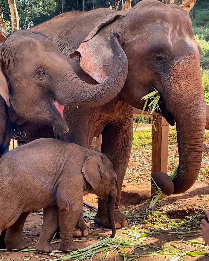 Not a lot on Twitter lately to make you smile except, well, this.... Cutest little family EVER! #chiangmai #chiangmaithailand #thailand #pataraelephantfarm #pataraelephantsanctuary #ethicalpic.twitter.com/7Pwv6SCEIK – at Chiangmai, Thailand