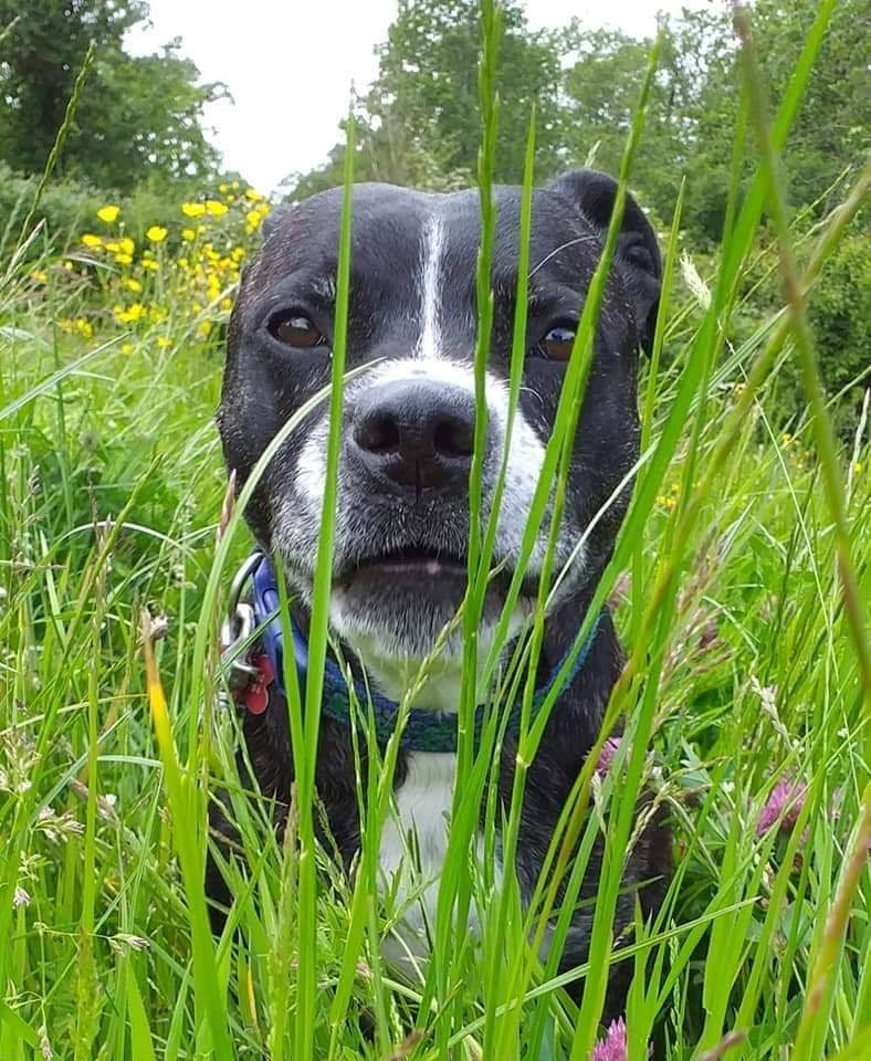 Molly Dog here this #woofwoofwednesday just wondering if you can still see me as no one has enquired about me I keep asking where my forever family are *sad ears* 😢 Pls read my info & if you think you are the family for me,dont delay,get in touch today! seniorstaffyclub.co.uk/molly-dog