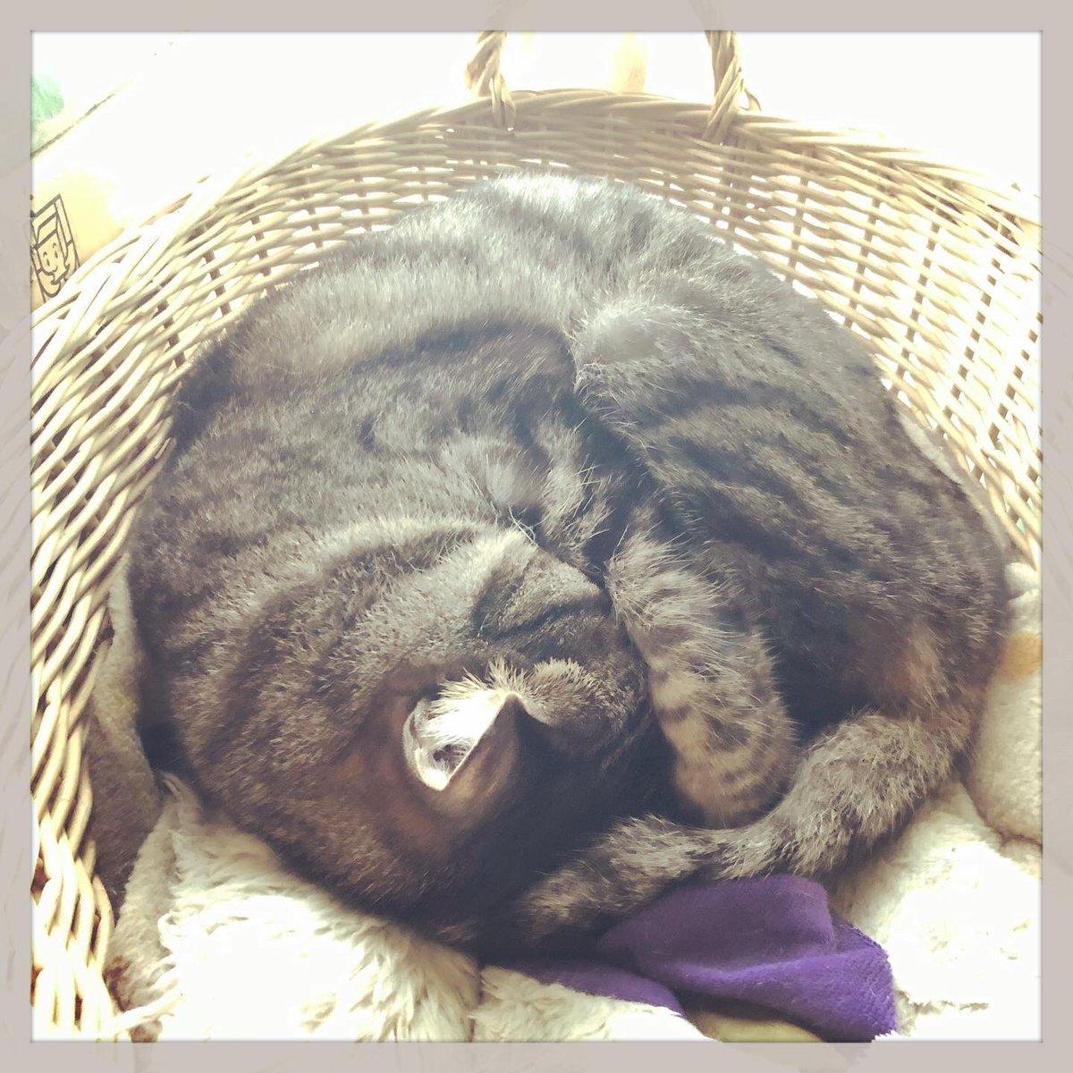 ごめん寝こー ネッコーーーー #猫 #cat #とろねこチャレンジ
