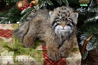 Manul Arnie by Katia Leyt   #OOAKcats #artistteddy #cat