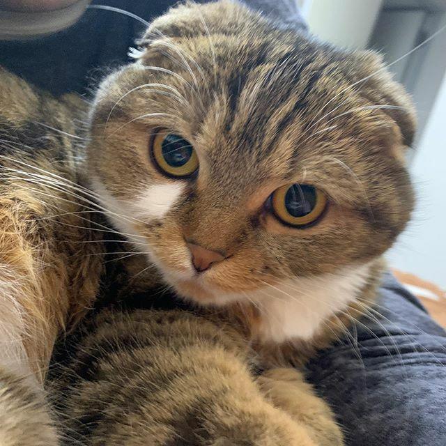 今日のもかさん。 #猫  #スコティッシュフォールド  #ねこ #猫のいる暮らし #cat #scottishfold #ねこのきもち