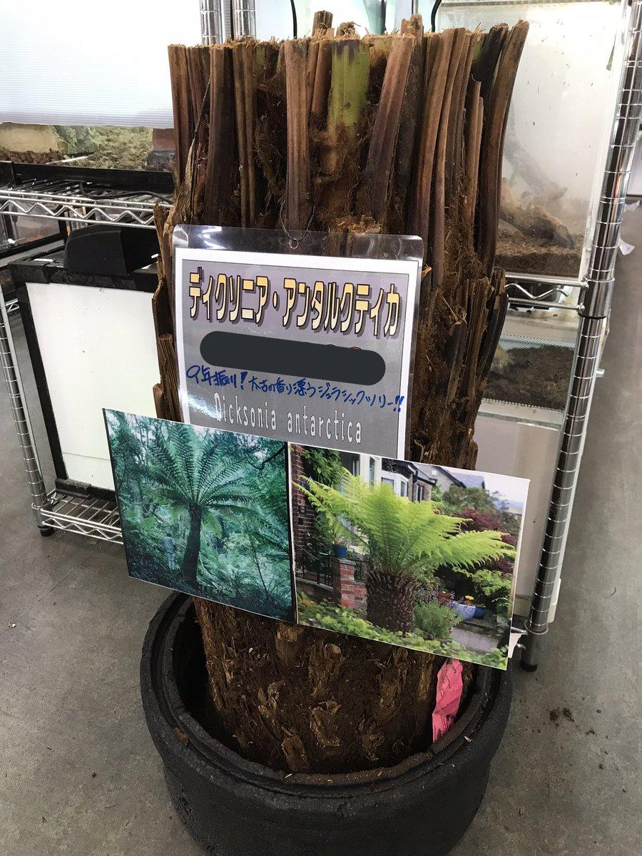 来ました!!激レア植物🌴✨ ディクソニア・アンタルクティカ ビッグサイズ 3本入荷‼️  恐竜時代から姿を変えず太古の 香りを漂わせるジュラシックツリー 9年振りの入荷です。 気になる方はお早めに🦖 #ディクソニア #ディクソニアアンタルクティカ #ジュラシックツリー #オーストラリア #みなとペポニ