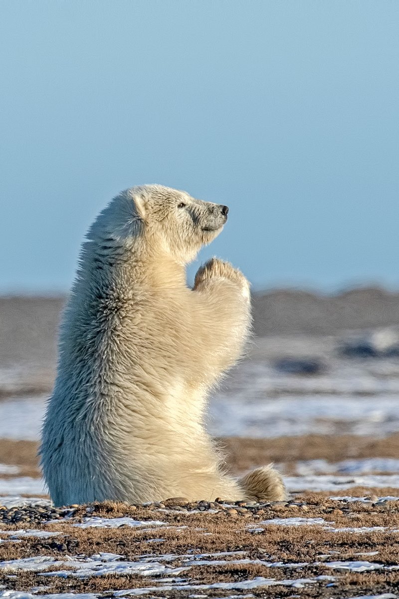 Today marks #InternationalPolarBearDay. Global warming is melting the ice of the Arctic, home of the white giants, threatening the survival of polar bears. Their population has dropped to about 22-31,000 and the WWF lists them as a vulnerable species. <br>http://pic.twitter.com/j1bD3X2Sfv