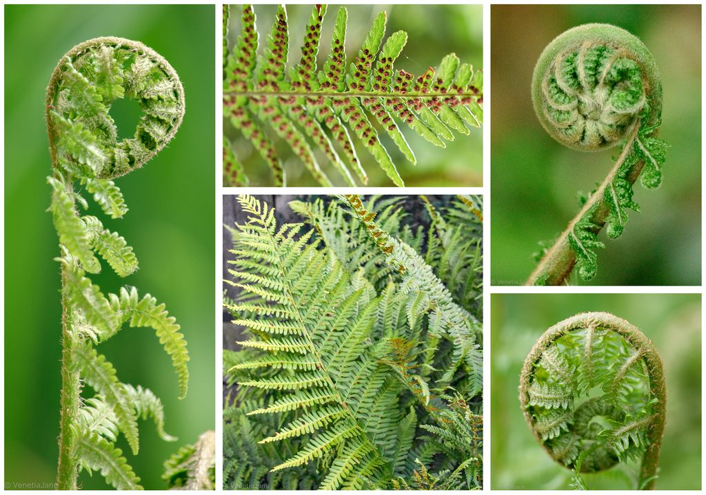 In the Thuringian Forest Dryopteris filix-mas is called 'irrkraut' ('stray herb') & said to cause travellers to become lost. If you inadvertently step over it a man must put his shoes on the wrong feet & a woman must turn her apron inside out to break its spell. #FolkloreThursday<br>http://pic.twitter.com/PiubjGZwhT