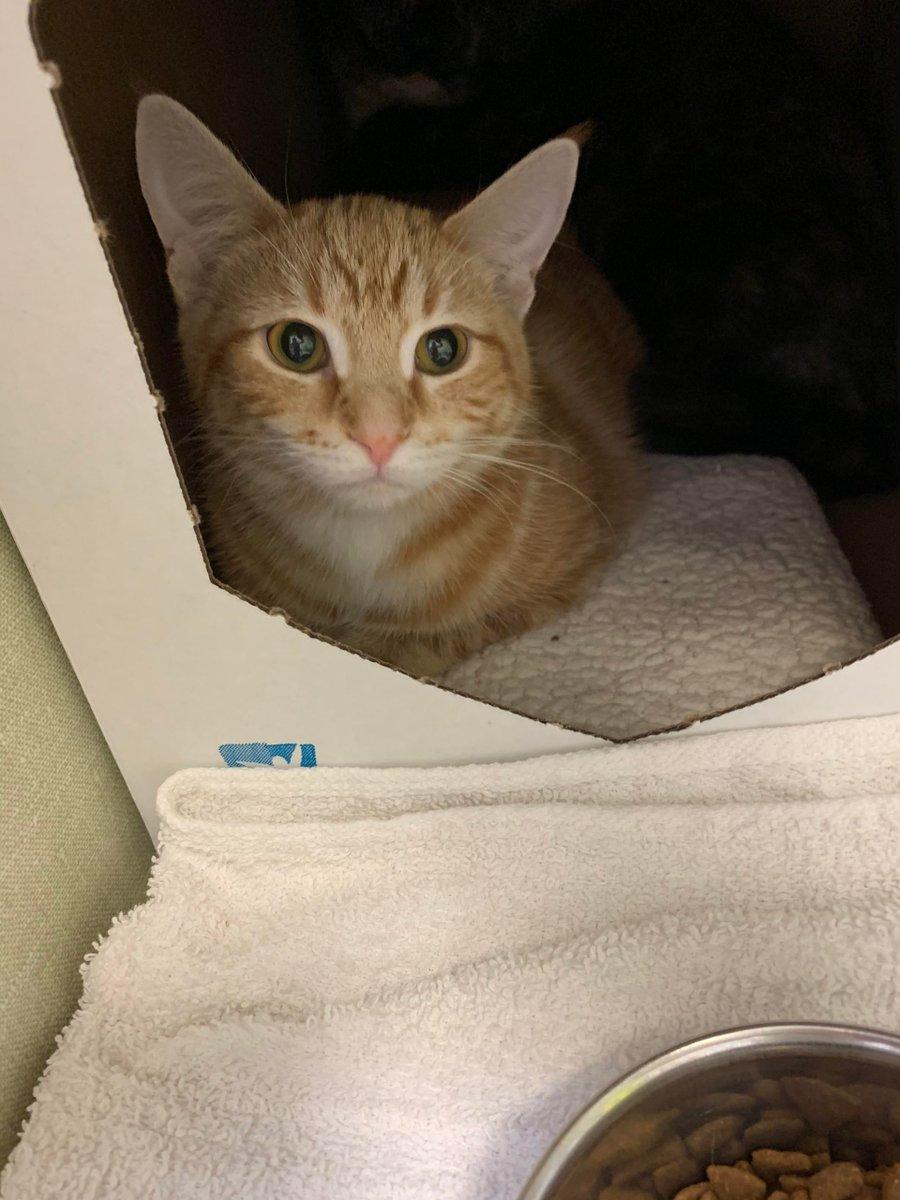Another #Volunteer #Shift, another #Ginger #Girl #Kitten. #Friends, #Meet #Sweet #Jasmine #Kitten.   #Cats #Cat #Kittens #Kitten #Kitty #Pets #Pet #Meow #Moe #CuteCats #CuteCat #CuteKittens #CuteKitten #MeowMoe     .