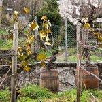 Image for the Tweet beginning: Le doublement du vignoble d'Issy-les-Moulineaux