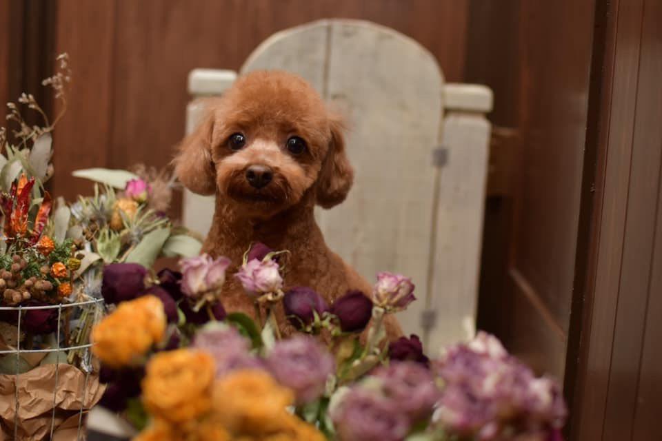 ≡No Dog,No Life≡ 〜toypoodle*トイプードル〜  photo by Ai Obuchi  #犬 #犬写真 #dogphoto #犬グラフィー #nodognolife #chai #chaiの世界 #dogsalonchai #ドッグサロンチャイ #寄居町 #深谷市 #熊谷市 #長瀞 #秩父 #児玉町 #美里町 #犬のいる暮らし #犬のいる生活 #toypoodle #トイプードルpic.twitter.com/vjLmBqxqrM