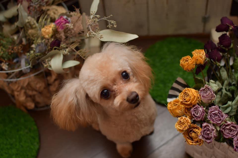 ≡No Dog,No Life≡ 〜Chihua poo*チワプー〜 〜puppy*仔犬〜 〜大人の階段のぼる〜  photo by Ai Obuchi  #犬 #犬写真 #dogphoto #犬グラフィー #nodognolife #dogsalonchai #ドッグサロンチャイ #寄居町 #深谷市 #熊谷市 #長瀞 #秩父 #犬のいる暮らし #chihuapoo #チワプー #puppy #仔犬pic.twitter.com/7skLnCyqju