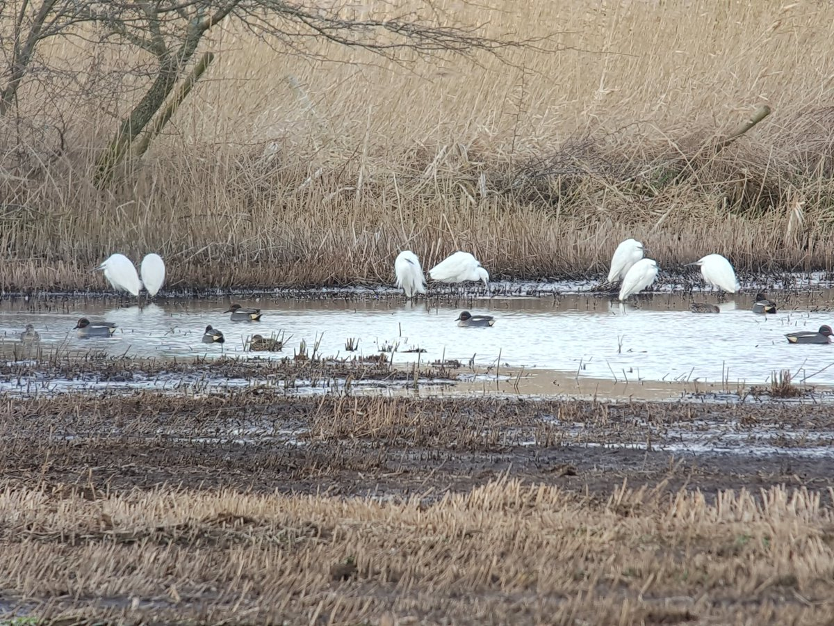 7 little egrets at #marstonstw 1 short of site record.