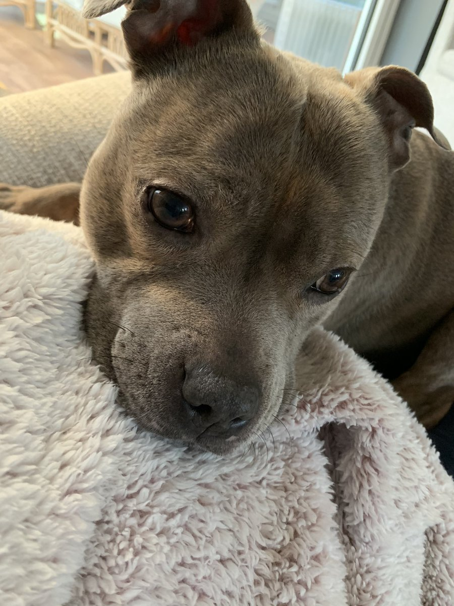 Celebrating 7 years in my furever home today with cuddles with humum #staffs #bluestaffy #staffordshirebullterrier #celebrating #love #family #dogsofinstagram #dogsarefamily #celebration #cuddles #fureverhome #fureverfamily #dogsoftwitterpic.twitter.com/Gfi0CI3ddC