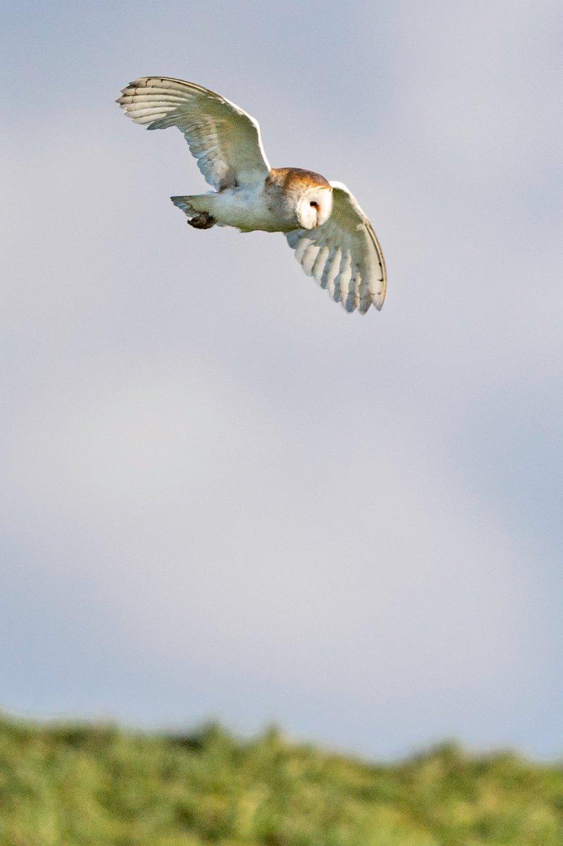 RT @AnthonyPMorris: My local Barn Owl at Farmoor Oxon 27-2-2020 @Natures_Voice @wildlife_uk @WildlifeMag @BBCEarth @BBCSpringwatch @BBCCountryfile @BBOWT @WildlifeTrusts @RSPBbirders @RSPBNews #barnowl #owl #springwatch #winterwatch
