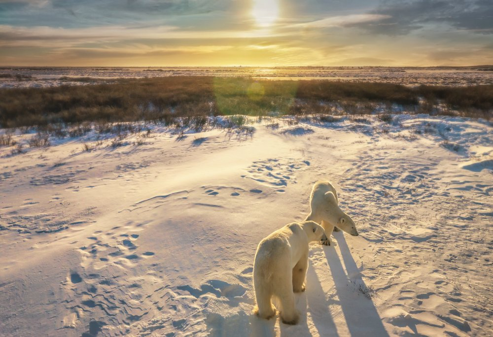 Churchill, Manitoba  – the Polar Bear Capital of the world – is the perfect destination to see polar bears in their natural habitat. Every fall, about 1,000 of these magnificent giants migrate to this small northern town as they await the colder winter days. #PolarBearDay<br>http://pic.twitter.com/xgT55MI1Ez