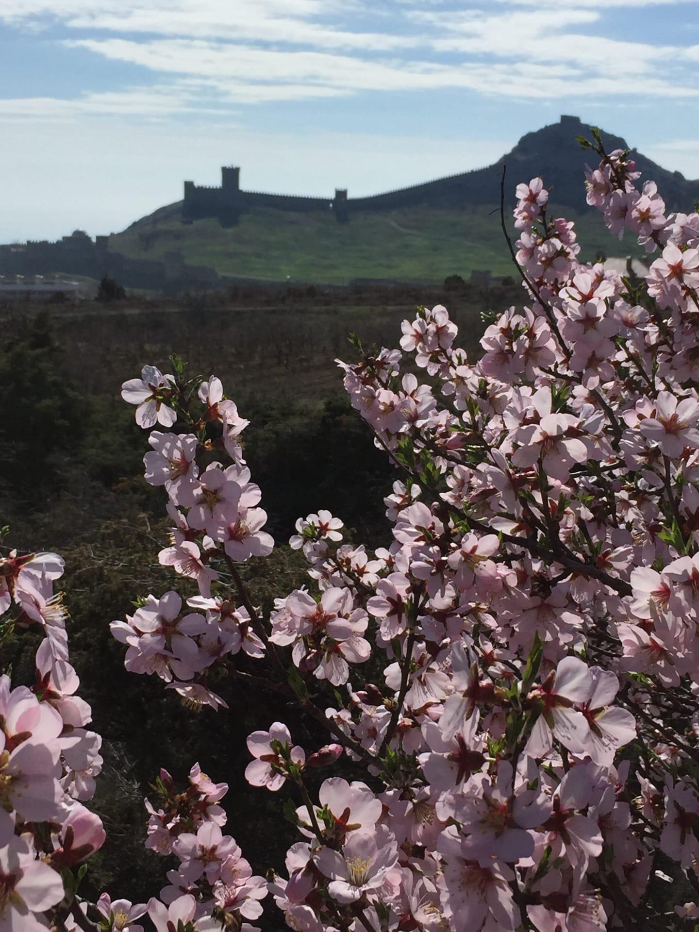 ваза зимой в крыму цветет миндаль фото таких примеров