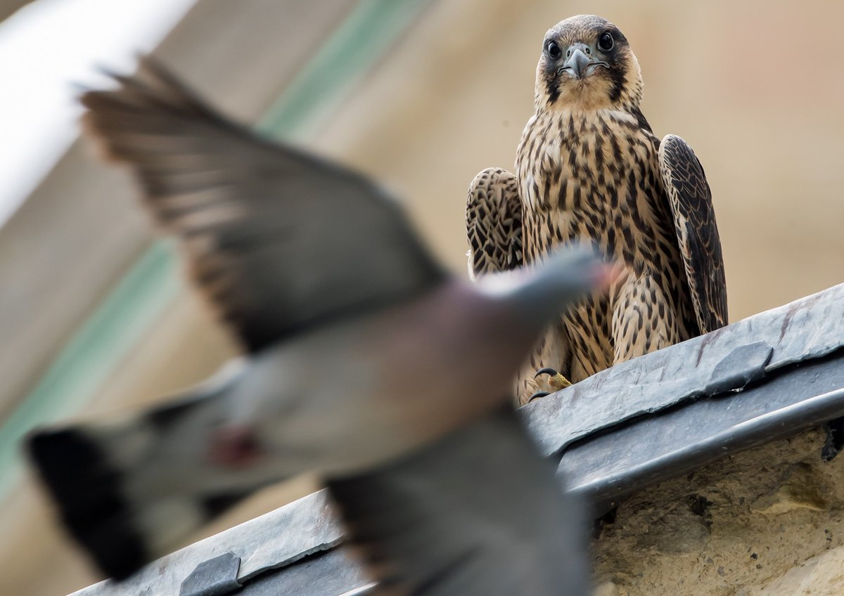 Join us at the Norfolk Festival of Nature launch event this weekend! Activities on our stand includes Owl pellet dissection 🦉💩 PLUS well have live Peregrine footage streaming from @Nrw_Cathedral. @NFOfNature @TheForumNorwich Pic - Chris Skipper ow.ly/PeYE50yINPg