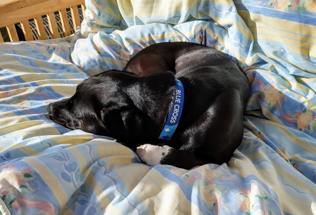 Here I am enjoying a sun puddle. Please note that I'm on the sofa again and my bed is nowhere in sight #Result! HooDad is losing this battle of wits but the silly sausage doesn't realise that he's come to the fight completely unarmed #DogsOfTwitter #BlueCrossAlumnipic.twitter.com/P8BIEWdfLZ