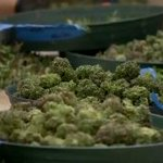 Image for the Tweet beginning: #marijuana #cannabis #cannabiscommunity-  Posted: Mar 11,