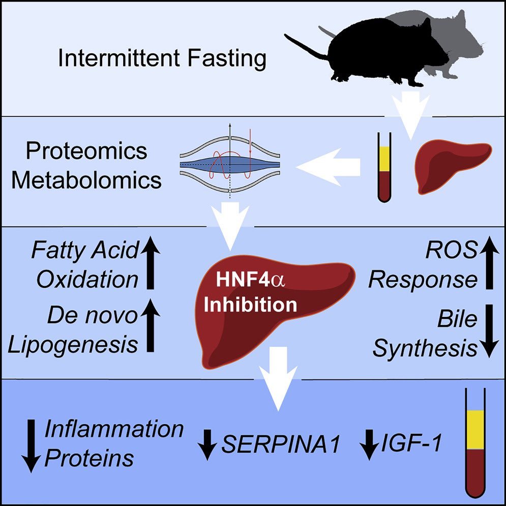 Is fasting good for liver