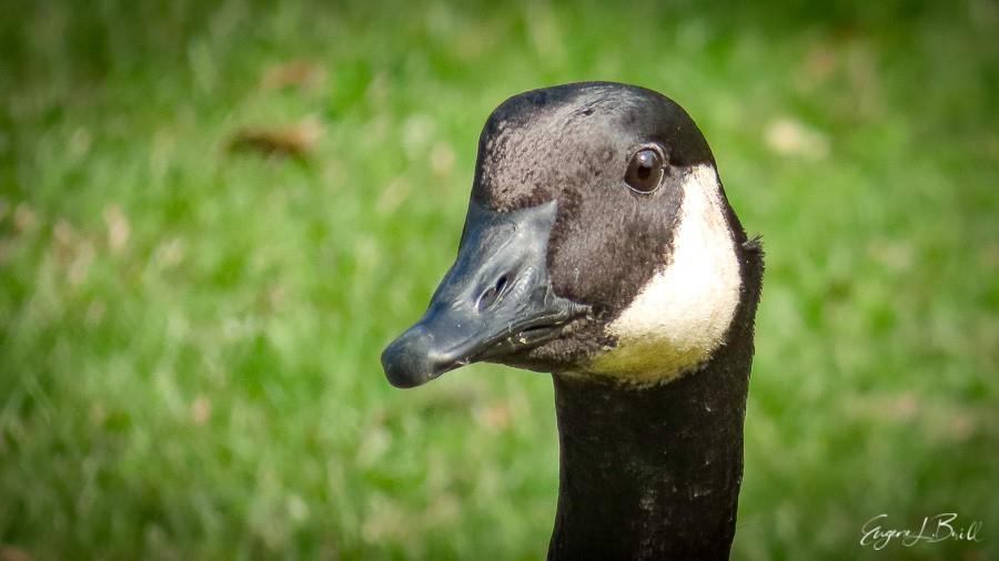 Canada goose in City Park, New Orleans @eugenebrill #birdlife #briding #prettybirds #wildlifefriend #wildernessphotography #naturephotography #canonnature #endextinction #naturelovers #naturelovers #canonphotography #natgeowild #canonwildlifephotography #thediscovererpic.twitter.com/ioMhwDJXLc