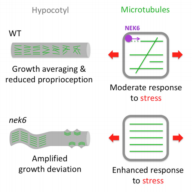 Shogo's paper shows that the tubulin kinase NEK6 depolymerizes microtubules that align with mechanical stress.   ➡️enhanced response to mechanical stress in nek6  leads to abnormal shapes.  💡in WT, relative inefficiency in microtubule alignment may allow global growth averaging. https://t.co/LvypbBbi7K