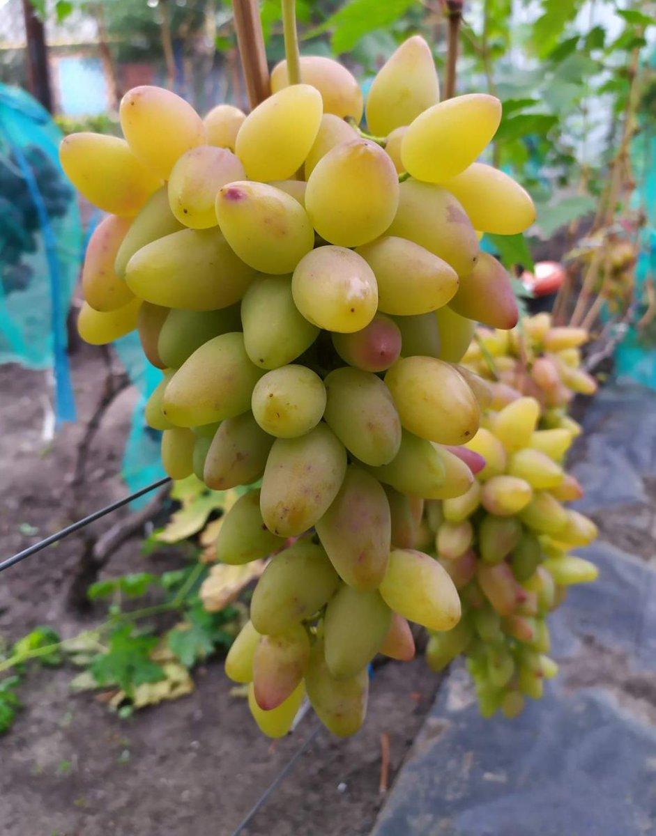 представлена все сорта винограда с фото и описанием они