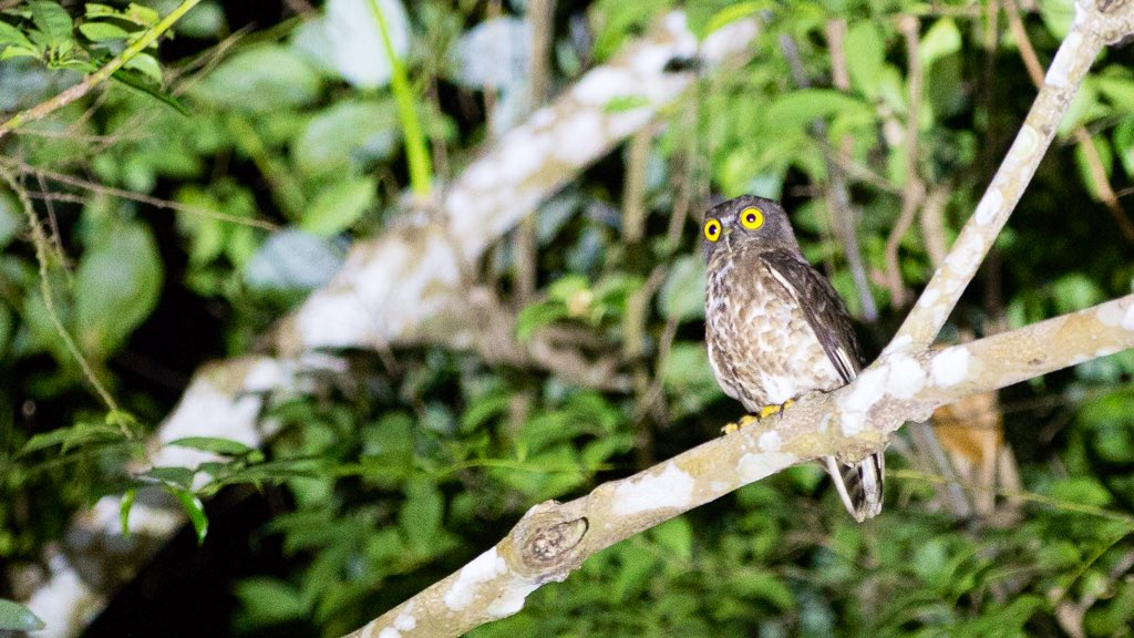 Brown Hawk-Owl or Brown Boobook (Ninox scutulata)  A soft & musical 'ooup-ooup' call pierces the cool night air, repeating at regular intervals. Looking up into the canopy exposes this smallish-medium #owl that wears a shell-shocked expression that stops mid-call. #SGBiodiversity pic.twitter.com/D2xGlYocid – at Old Upper Thomson Road