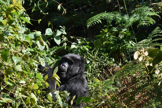Connecting #MasaaiMaraNationalPark to #BwindiImpenetrableNationalPark with a combined 6 Day fly in safari that enables one to experience #GorillaSafariUganda and #MasaiMaraSafariKenya https://t.co/ouqU0B9cWc https://t.co/zIKPOhyWNW