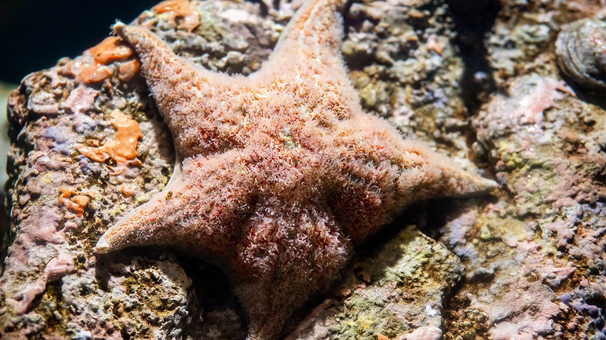 The leather sea star is one of the only species of echinoderm that digests its prey internally.