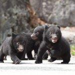 Image for the Tweet beginning: 【中部山岳国立公園おすすめコンテンツ】~奥飛騨クマ牧場~  クマさんに餌やり体験・子グマと記念撮影が出来る! 「クマさんのテーマパークでクマさんと触れ合おう♪」 100 頭余りの熊が、冬眠をしないで年中愛嬌を振りまいてくれます。 #クマ #中部山岳国立公園 #奥飛騨