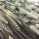 Image for the Tweet beginning: #DriedFlowers #wholesale #Retail #Gypsophila #Triticum