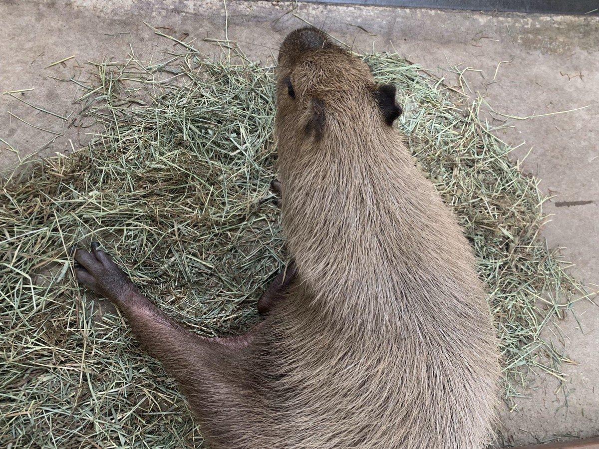 ゲンちゃんリラーックスモード  #カピバラ #capybara #のんびり #足ピーンてなってるね #毛繕いタイム #身だしなみは #大事だねpic.twitter.com/Qnvxbshn71