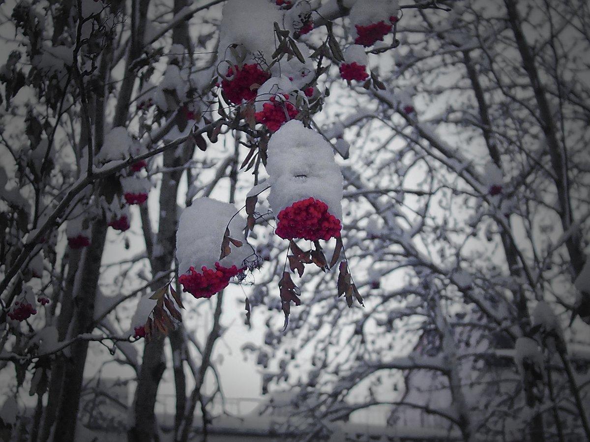 сердце из красной рябины на снегу фото решила