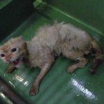 保護した猫のビフォーアフターに胸キュン…!安心しきった顔がたまらない!