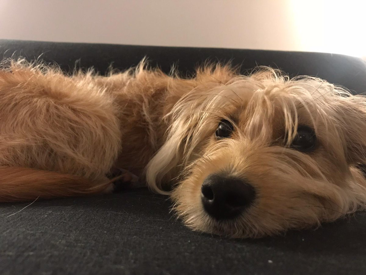 Kate Lawler On Twitter This Is Brandy An 8 Month Old Yorkie Cross Who Was Born In Rescue In Spain She Was Adopted Here In The Uk But It Didn T Work Out With The Family As Their Dog And Brandy Didn T Get On She Desperately Needs A Forever Home Being