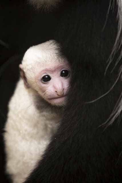"""""""You have a good chance of seeing Teak's sister Willow, as well as his half-sister, Binti, interacting with and carrying the baby,"""" said the Saint Louis Zoo's Ethan Riepl, primate unit keeper. https://t.co/JVagJbb03J https://t.co/5VgY3sOvgT"""