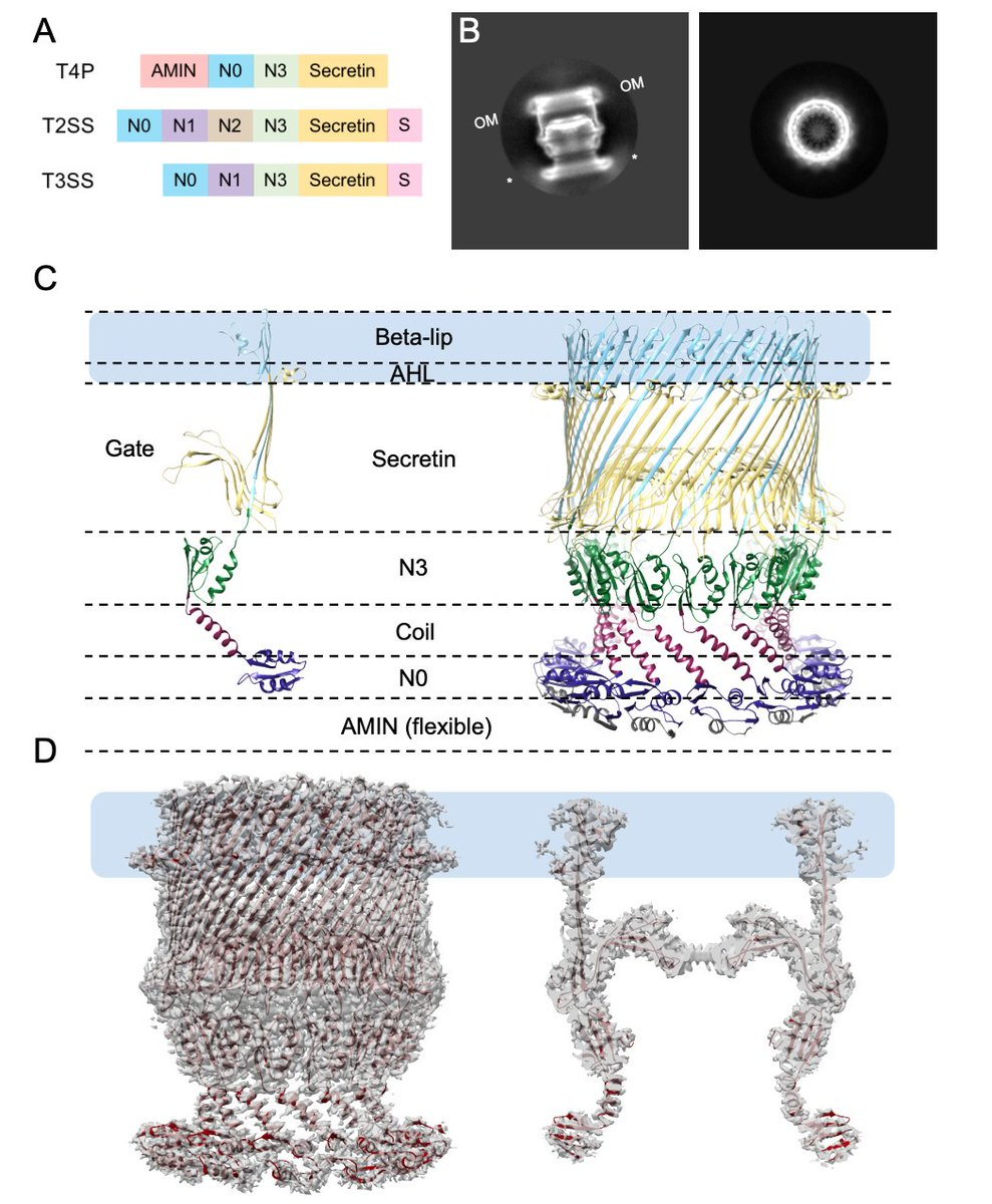 Check out our new @biorxivpreprint with Ankur Dalia's group on the structure of the Vibrio cholerae competence pilus secretin: https://t.co/9EaKQA5PY1