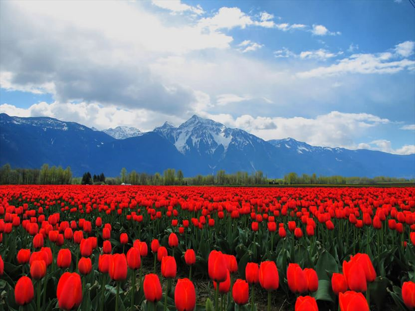 Горные тюльпаны фото киргизия