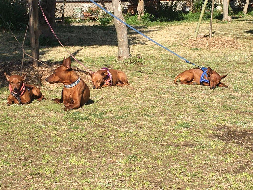 ノーズのサーチ待ち〜1番やる気がある2匹はノーズしない子練習してできるようにがんばろ! #ミニピン #ドッグトレーニング #ノーズワーク #アロマpic.twitter.com/pP7B5YcRRO