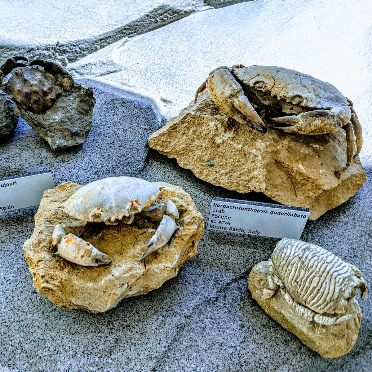 How about a crab party for #fossilfriday? These are beautifully prepared fossil crabs from the Eocene of Italy. On display in the whale room! #fossil #fossils #crab #crabs #crabby #feelingcrabby #eocene #cenozoic #paleo #paleontology #crustacean #crustacea #crustaceanspic.twitter.com/SrV5vyMuzt
