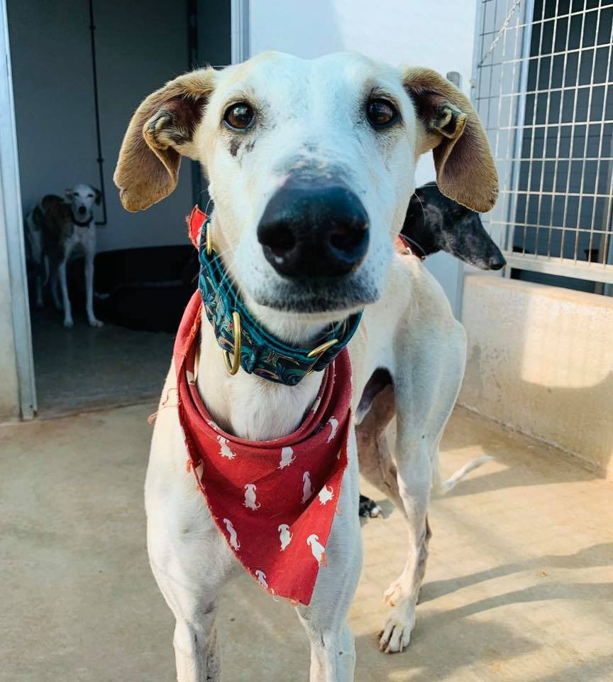 Portugal kicks the day off with simply being super handsome & asks if you could share his details as he would like a home & a nice family😊 5yrs old, bit timid at 1st but is your shadow when he likes you, walks well on lead & gets on well with other dogs